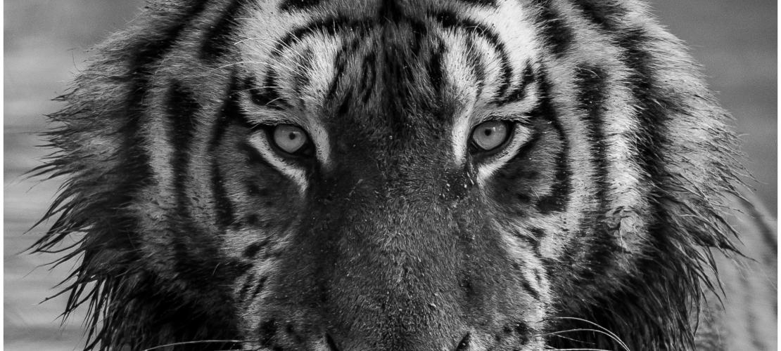 krachtdier tijger